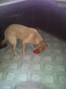A'Kos got peanut butter in his kong toy, a very special treat!